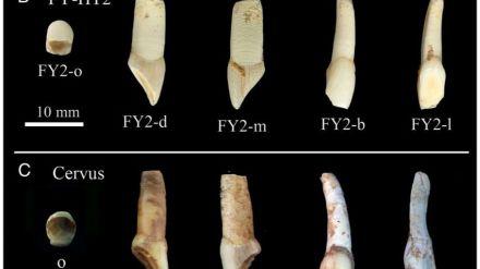 ¿Extraer ADN humano de un diente que no es humano?